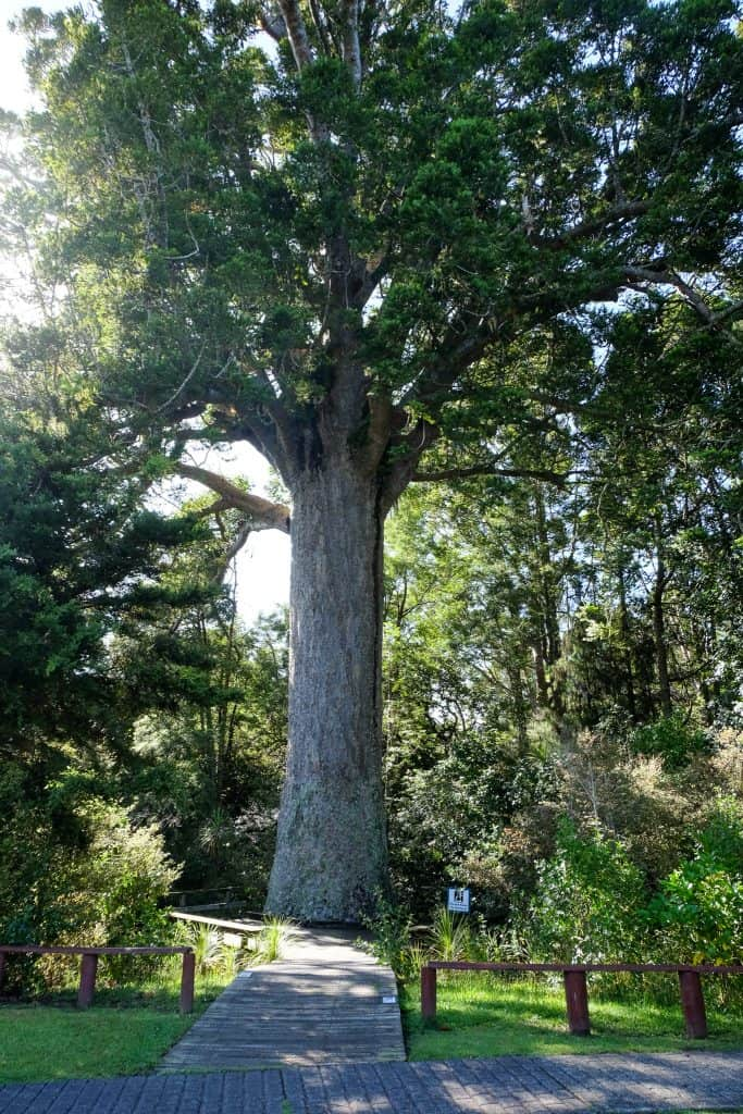 McKinney Kauri , 800+ years old , Parry Kauri Park, Warkworth, North Island, New Zealand. Just North of Aukland.