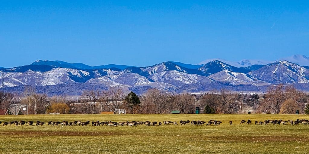 View to the west across Cornerstone Park. foreground: grass with geese grazing, distance: Rocky mountains with some snow.