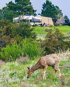 Deer eating grass near the campground in Chatfield State Park